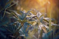 Lupine Blätter gestreut mit Wassertropfen im regnerischen Wetter lizenzfreie stockfotografie