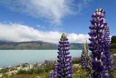 Lupine in bloem langs Meer Pukaki, Nieuw Zeeland Stock Fotografie