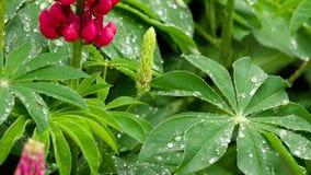 Lupine blommor och sidor med regndroppar stock video