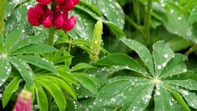 Lupine blommor och sidor med regndroppar lager videofilmer