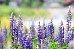Lupine blomstrade på fältet alps switzerland fotografering för bildbyråer