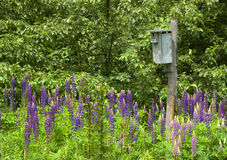 Lupine in Bloom. Photograph of a birdhouse in a garden of blooming lupine.  A Tree Swallow is peeking out the entrance of the birdhouse Royalty Free Stock Photos
