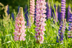Lupine blooming meadow Stock Photo