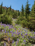 Lupine blooming in mountain field Stock Photo