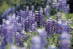 Lupine Blossom Stock Images