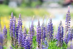 Lupine blossomed on the field. Alps, Switzerland. Blooming Lupine flowers. Violet colors of lupines. Blurred background. Village. Alps, Switzerland, July 2018 stock image