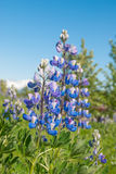 Lupine. A blue lupine early in the summer Royalty Free Stock Image