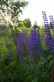 Lupine Royalty Free Stock Photos
