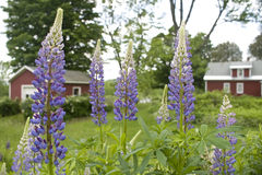 Lupine-Blumen Stockfoto