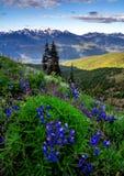 Lupine-Blumen und olympische Berge, Washington State Stockbilder