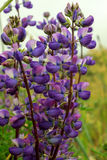 Lupine Royalty Free Stock Photo