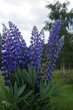 A lupine bush with blue flowers and green leaves Royalty Free Stock Photography