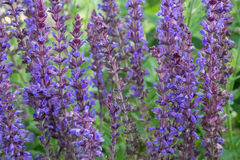 Lupine Close Up Royalty Free Stock Photography