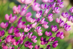 Lupine Royalty Free Stock Images