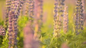 Lupine closeup stock video