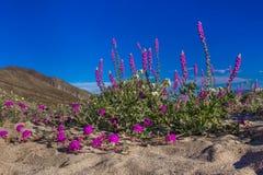 Lupine de Arizona Fotografía de archivo libre de regalías