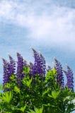 Lupine de florescência abundante no fundo do céu azul e no tema de nuvem-verão fotografia de stock