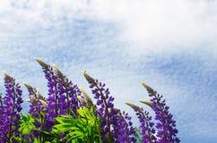 Lupine de florescência abundante no fundo do céu azul e no tema de nuvem-verão imagens de stock