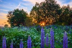Lupine de la inflorescencia en prado verde bajo puesta del sol Imagen de archivo libre de regalías