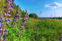 Lupine de la inflorescencia en prado verde debajo del cielo azul Foto de archivo libre de regalías