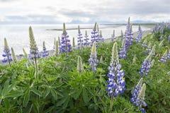Lupine de Nootka em Homer Spit, Alaska fotos de stock royalty free