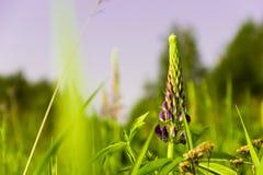Lupine, der im Frühjahr blüht Lizenzfreie Stockbilder