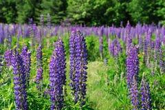 Lupine die in de lente bloeien royalty-vrije stock fotografie