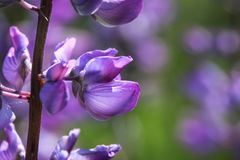 Lupine do jardim Fotos de Stock Royalty Free
