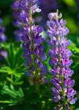 Lupine, Lupine eine Anlage der Erbsenfamilie, mit tief geteilten Blättern und den hohen, bunten, zuspitzenden Spitzen von Blumen lizenzfreie stockfotografie