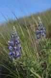 Lupine en Bunchgrass, colinas del cielo del caballo, Washington State del este, flora de la primavera Foto de archivo