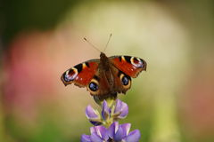 Lupine and european Peacock butterfly (Inachis io) Stock Photography