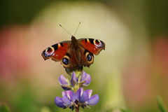 Lupine and european Peacock butterfly (Inachis io) Royalty Free Stock Photos