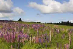 Lupine-Feld stockbild