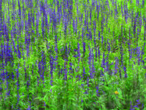 Lupine Field Royalty Free Stock Images