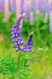 Lupine field Royalty Free Stock Image