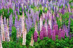 Lupine field Stock Images