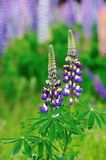 Lupine field Stock Photos