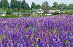 Lupine field Royalty Free Stock Photo