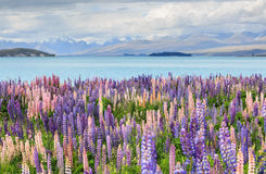 Lupine field lake tekapo Stock Image