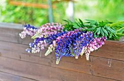 Lupine field with pink purple and blue flowers. Bouquet of lupines summer floral background.  royalty free stock images