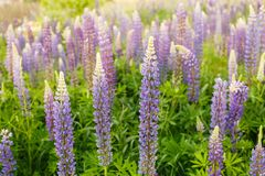 Lupine field with pink purple and blue flowers. Bunch of lupines summer flower background. Lupinus. Beautiful beauty bloom blooming blossom botany bouquet color stock photography