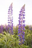 Lupine field with pink purple and blue flowers closeup royalty free stock images