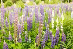 Lupine field with pink purple and blue flowers. Bunch of lupines summer flower background. Lupinus Royalty Free Stock Photos