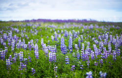 Lupine field in South Iceland. Bluebonnet Stock Photography
