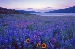 Lupine field unesco world heritage Royalty Free Stock Image