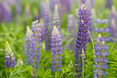 Free Lupine Field With Pink Purple And Blue Flowers Royalty Free Stock Photos - 137291458
