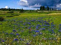 Lupine filled mountain meadow Royalty Free Stock Image