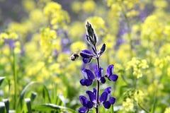 Lupine floreciente de la primavera Fotografía de archivo libre de regalías