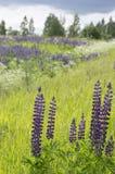 Lupine floreciente del verano del día soleado en un prado verde Fotos de archivo