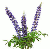 Lupine Flower Royalty Free Stock Photo